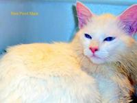 Large Regal Red Flame Ragdoll Male Purebred 8plus