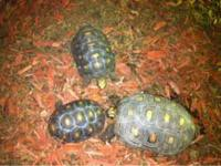 I have 3 red foot tortoises and a handmade tortoise
