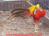 I have 2013 Red Golden pairs and a few trio's for sell,