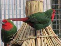 Red headed parrot finches are $240 per pair Violet