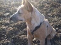 Male red Heeler. He does not do well with small stock.