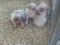 I have Red Heeler pups for sale. There is 3 females and