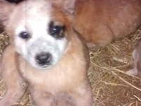 7 week old purebred red heeler young puppies, have