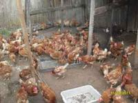 red hens yes they are laying 6.00 each or 4 for 20.00