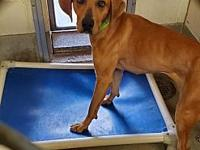 My story Meet Red a 46lb hound that came from south