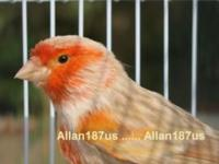 I have a beautiful young Isabel Red Mosaic singing male