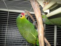 NICE BONDED AMAZON PAIR, NOT TAME, FOR BREEDING ONLY,