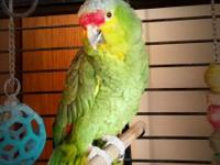 Kiko is a medium sized parrot with green, red, yellow