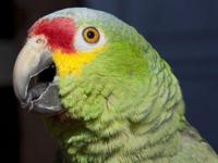 I HAVE AVAILABLE FOR SALE RED LORED AMAZON PARROT VERY