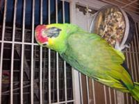 I have a nice red lored amazon parrot ..he talks...nice