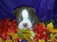 CKC red Male Boston Terrier he will be ready Nov 16 vet