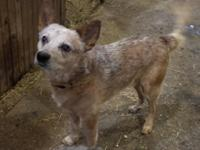 1.5 year old Red Heeler male. Great with kids, other