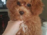 Born 5.12.15. She is a Red maltipoo. Sweet heart I just