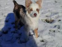 I have a female toy size Australian Shepherd red merle