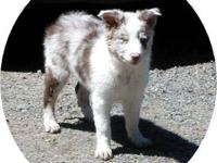 Lola: She is a red merle Border Collie with blue eyes.