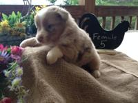Red Merle Female puppy for sale. She has a full white