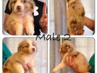 Red Merle Male Puppy For Sale. He has lots of copper on