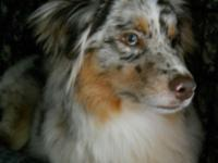 Red Merle female miniature australian shepherd. She is