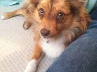 Adult male red Merle Aussie! He is 1.5 years old, great