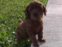 A.K.C- Miniature Red Poodle Puppy - Available 2/2/2015