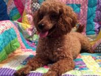 Chloe is a 2 year old female Miniature Poodle for sale.
