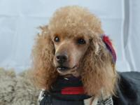 Ginger is a miniature poodle that weighs around 20 lbs.