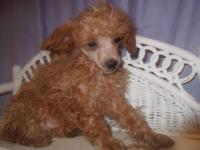 Maria is a pretty little red miniature poodle. She will