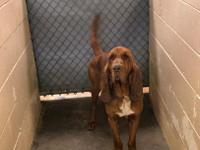 Red is new to rescue. He is a 4 yr old purebred