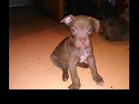 I am trying to find good homes for my red nose pit