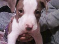 Description Im selling a red nose pit bull for $250.