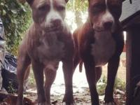 These puppies are real pitbull terriers not the bully's
