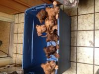 2 month red nose puppies  male and female