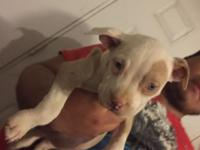 I have 3 female red nose pitbulls. If interested please