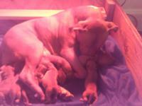 High energy high drive red nose pit bull puppies. Both