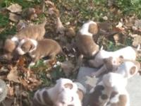Red nose American Staffordshire terrier pups need