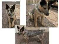 IAM LOOKING TO BUY A FEMALE RED OR BLUE HEELER FOR 125