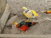 Red or Yellow Golden Pheasant Pairs They are 3 months