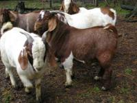 Fullblood show quality Boer Goats from Heaven Sent