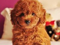 My beautiful miniature red poodle Oliver just been