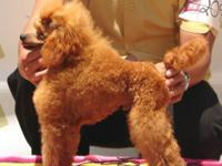 Tiny women red toy Poodle puppy with global pedigree,