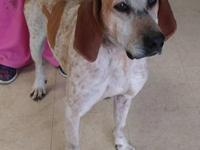 Red our redtick coonhound is around 8 years old. He is