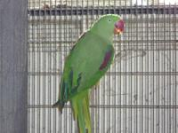 I have an approximate 5 old old Male red rump parakeet.