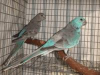 Typical red rump male parakeet not tame outdoor raised,