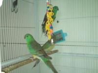 red rump parakeet Classifieds - Buy & Sell red rump parakeet across
