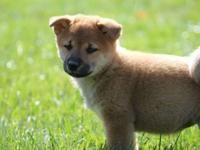 Beautiful Red shiba ladies are prepared for their new