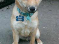 I have a red male Shiba Inu, 5 months old. My husband