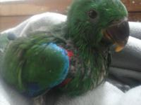 We are currently handfeeding Red Sided Eclectus Male
