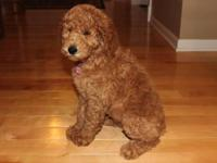 Gorgeous red standard poodle. 9 weeks old, very