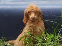 Ready to go home - handsome red standard poodle!