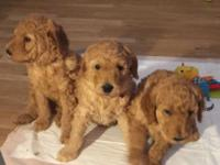 I have 3 male Red Standard Poodles for sale. They are